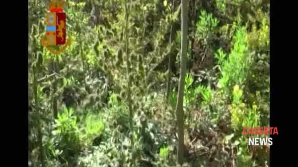 Scoperta maxi piantagione di marijuana, il blitz tra piante alte quasi 2 metri | VIDEO